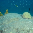 Grooved brain coral with yellow tube sponge  and juvenile bluehead.