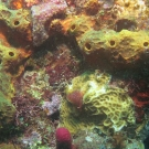 Yellow tube sponge surrounding lettuce coral with a christmas tree worm.