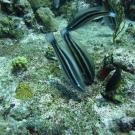 Juvenile Princess Parrotfish