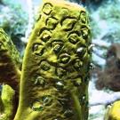 Branching Tube Sponge