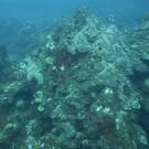 Pillar Coral