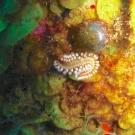 A bearded fireworm and a sea pearl.