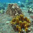 Yellow tube sponge with giant barrel sponge and juvenile bluehead.