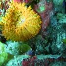 Artichoke Coral