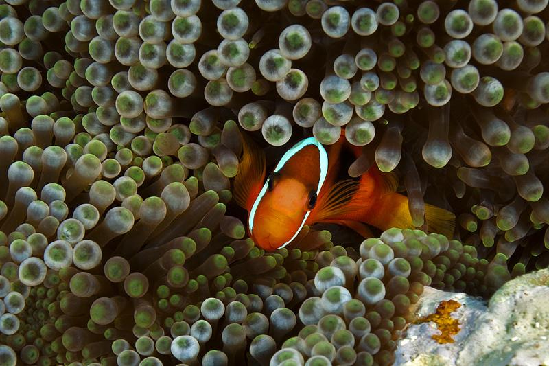 I see you! Clownfish in the Solomon Islands © Ken Marks/LOF