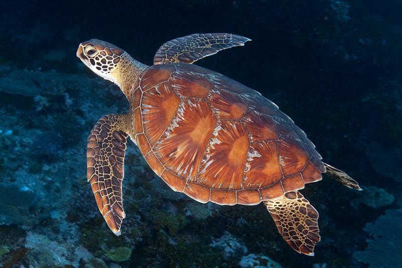 Green sea turtle in the Solomon Islands © Ken Marks/LOF