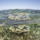 Acropora table corals at low tide in shallow water with blue linkia starfish. © Jürgen Freund/LOF
