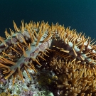 Crown of thorns seastars are one of the few animals that eat coral. © João Monteiro/LOF