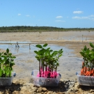 The red mangrove propagules are all tagged with different colored tape, which represents the various types of media that they grew in: mangrove mud, pebbles, and sand.