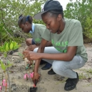 Students from Holland High School plant their mangrove seedlings at the restoration site in Falmouth, Jamaica.