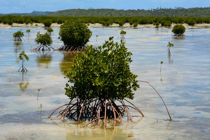 Red mangroves of Vava'u.