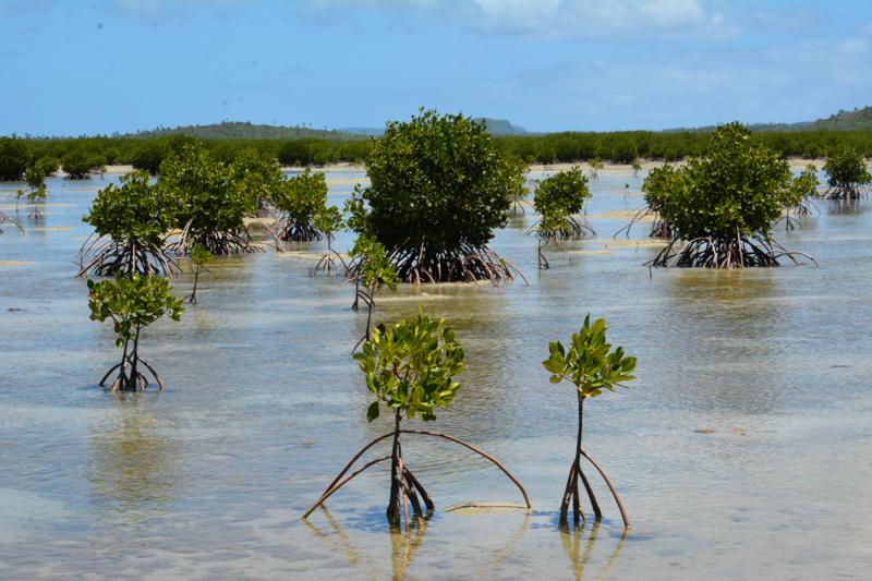 Mangroves near Koloa community in Vava'u.