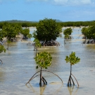 Mangroves near Koloa community in Vava'u.