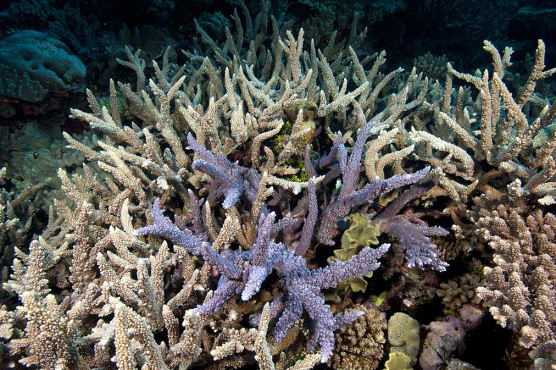 Acroporid corals