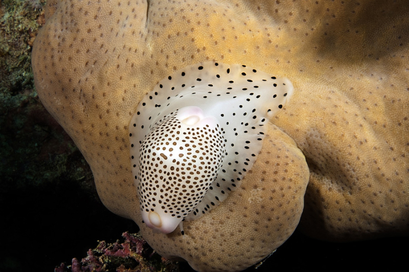 Black Spotted Egg Cowrie