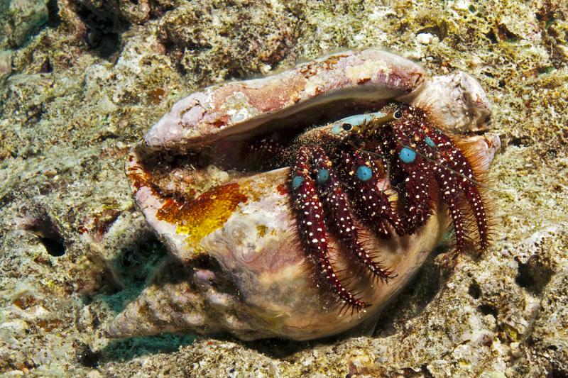 Blue Knee Hermit Crab