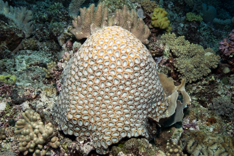 Favites Coral
