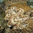 Giant clam, Tridacna maxima