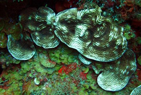 Partial bleaching on a plating scroll coral (Agaricia lamarcki)