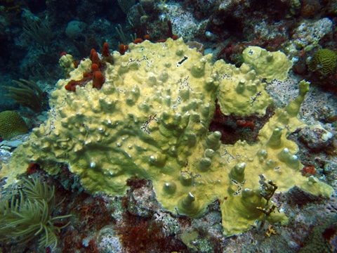 Fire coral (Millepora complenata) encrusted on the reef