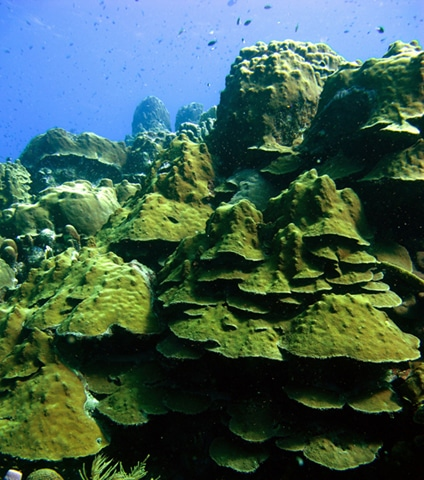 Caribbean coral reefs: Mountainous star coral (Montastraea faveolata) once looked like this. (Photo taken in Bonaire, July 2010)