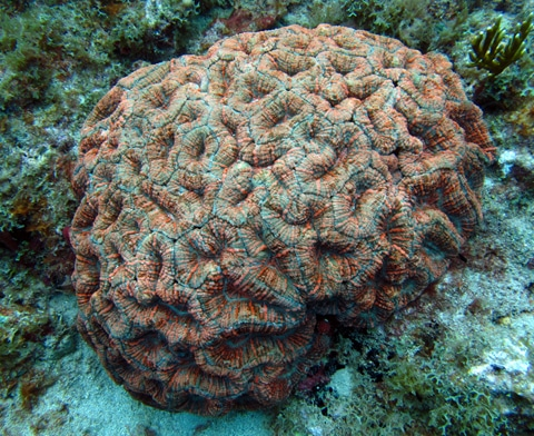 Large colony of spiny flower coral (Mussa angulosa)
