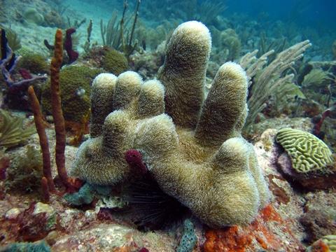 Pillar coral (Dendrogyra cylindrus)
