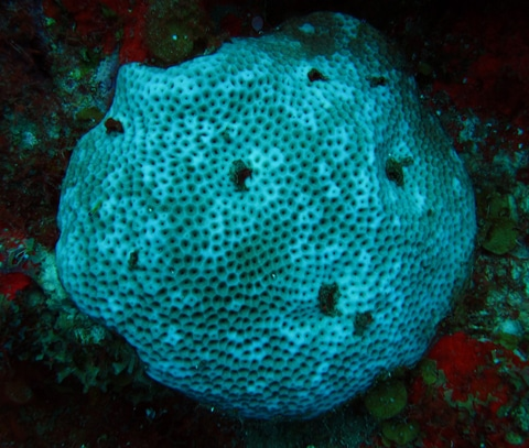 Bluing of massive starlet coral (Siderastrea siderea) shows early signs of bleaching
