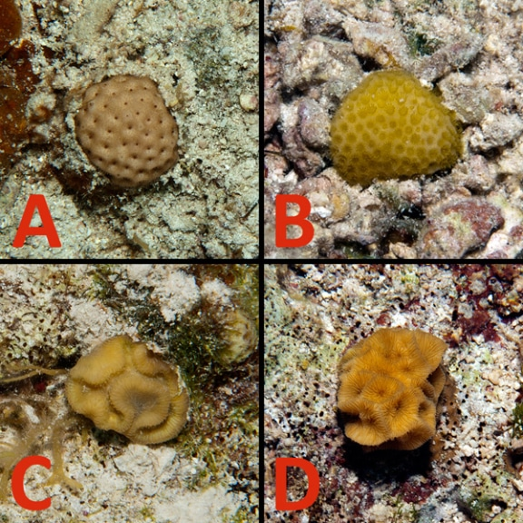 Coral recruits found on Hogsty Reef measuring from 1-5 cm across.  A) Siderastrea B) Porites C) Diploria D) Agaricia