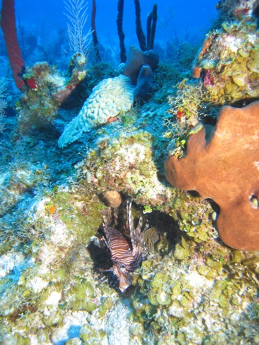 An invasive lionfish hiding in the reef.