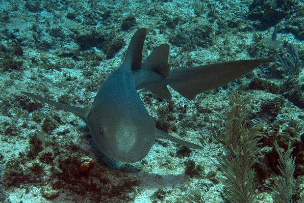 Spare a lionfish? A nurse shark up close