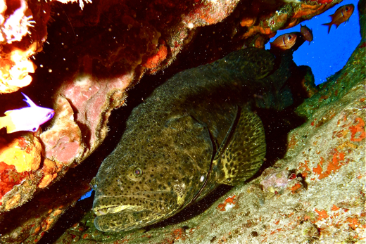 We didn't see many grouper at Alice Shoal corals but did find one lonely goliath grouper