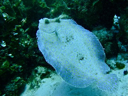 A peacock flounder