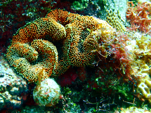 A colorful corallimorph, close relative of anemones, jellyfish and corals