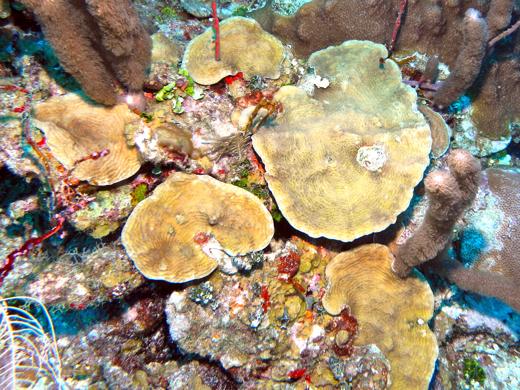 Lettuce coral at Bajo Nuevo