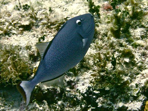 A sargassum triggerfish