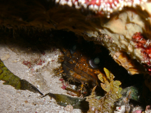 A toadfish hiding out