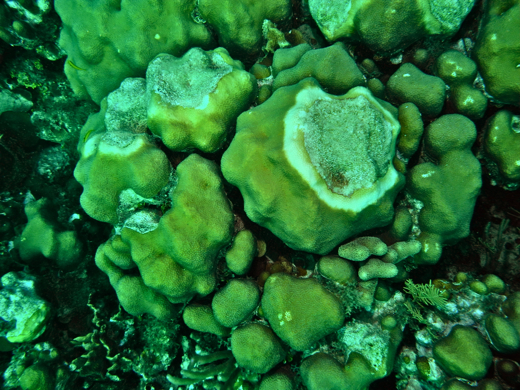 Star coral with yellow band disease