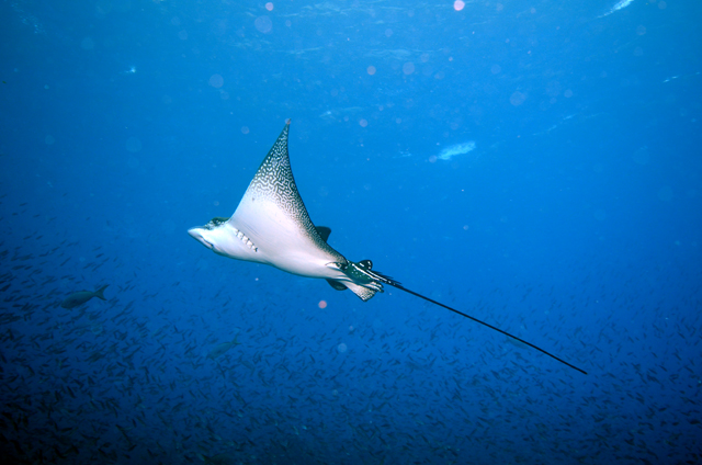 A spotted eagle ray glides through the water