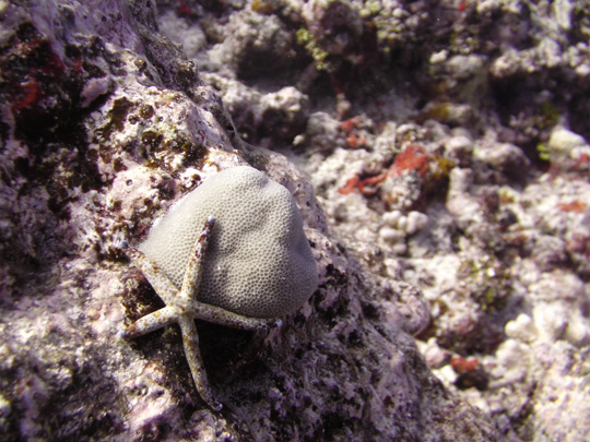 A sea star clinging to a coral head.
