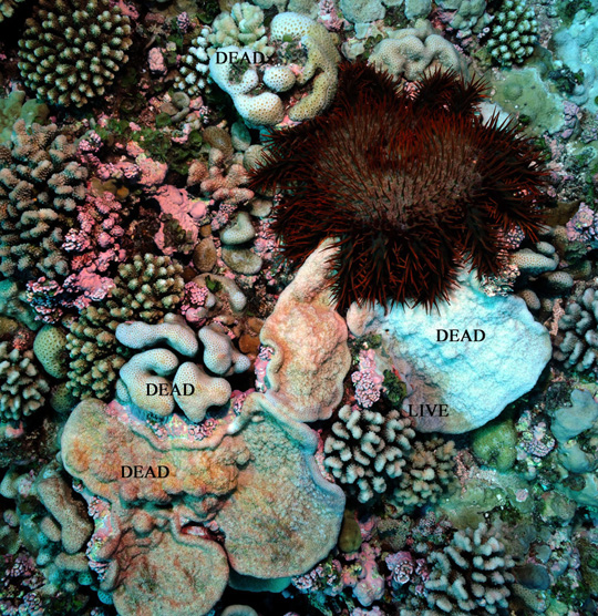 COTS seastar feeding on corals on a shallow reef at Bellinghausen. Most of the plating coral (Montipora) below the COTS has been eaten within the last day or two while several other corals were consumed previously.