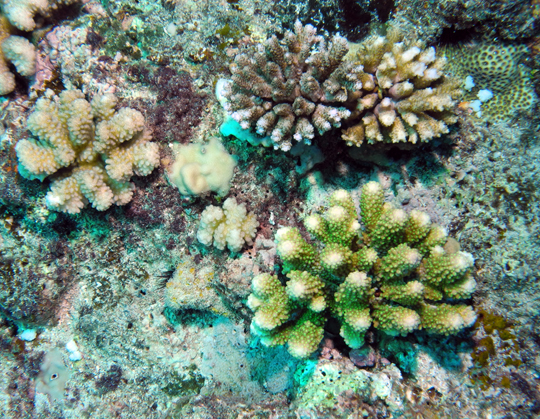 Healthy branching corals (Acropora and Pocillopora)
