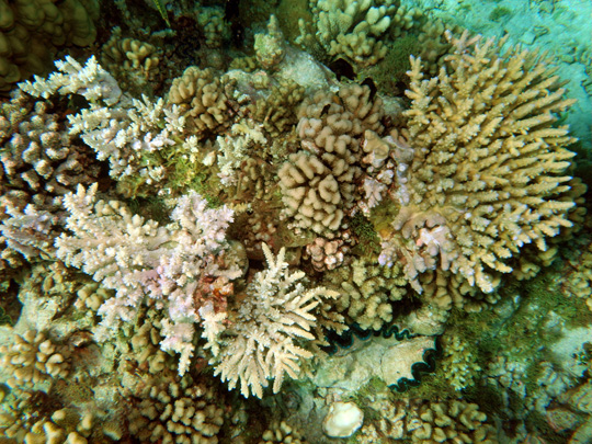Coral community on the top of a lagoonal pinnacle at 2 m depth