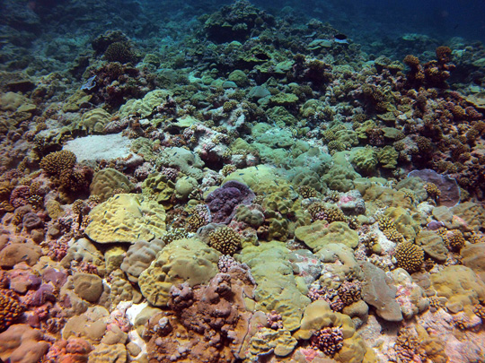 Tuamotu Reefs: Shallow fore reef (5 m) on the leeward side of Fakarava with a high cover of plating and submassive Porites colonies and other species