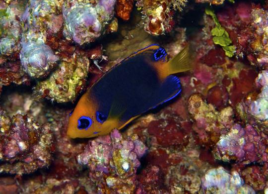 Orangehead Pygmy Angelfish