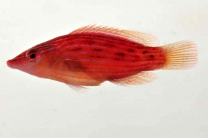 The colorful reddish pink wrasse is similar to the Eightstripe Wrasse, but we have discovered that this color form is actually an undescribed species in French Polynesia