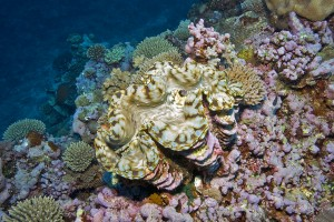 Fiji Department of Fisheries is reintroducing endangered giant clams and protecting them from overfishing under Fiji Fisheries Act.
