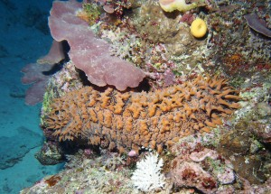 Pineapple sea cucumber, Thelenota ananas.
