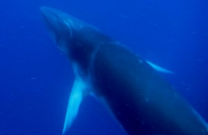 Dwarf minke whale swimming with our ground truthing team.
