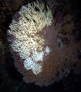 A large (1 m) table coral showing multiple lesions caused by several starfish (each circle is from one animal). Damage from COTS over several days.